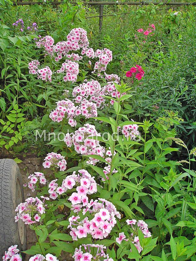 Многолетние цветы для подмосковья с